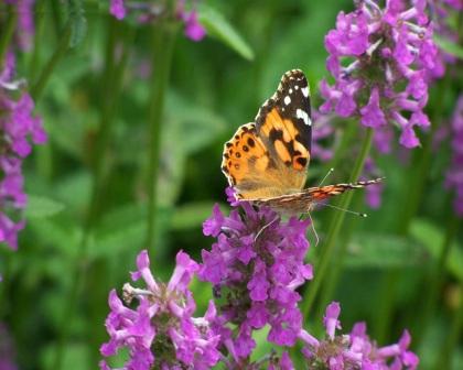 mariposa monarca en flor violeta