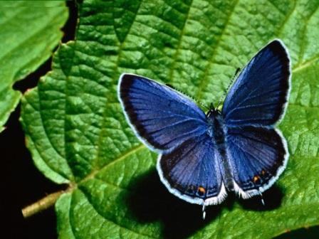 mariposa azul posada
