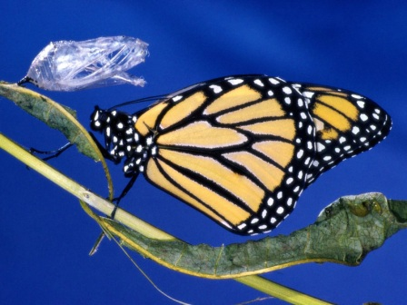 monarca emergiendo de su crisalida