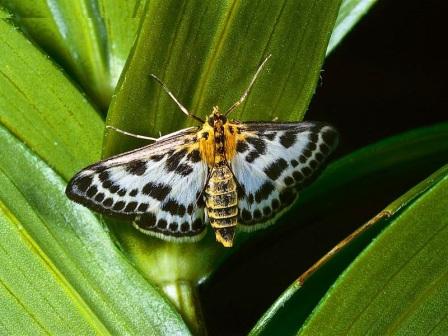 mariposa adulta