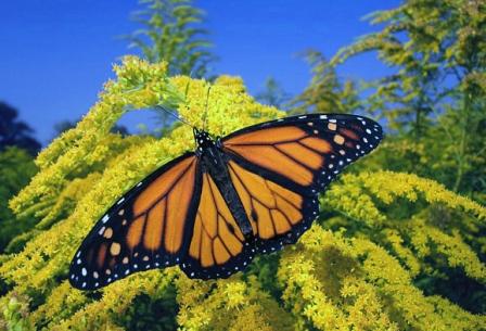 mariposa monarca posada en arbol