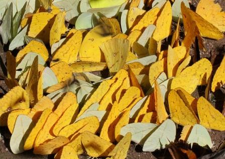 grupo de mariposas amarillas