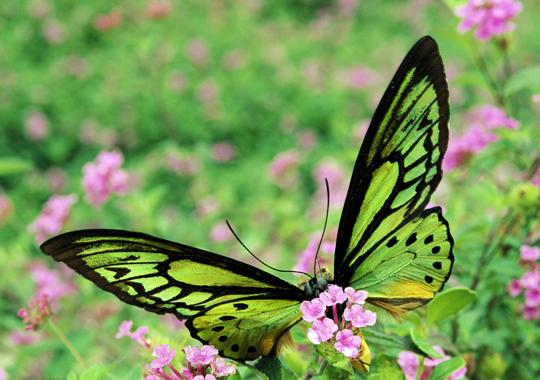 mariposa alas de pajaro