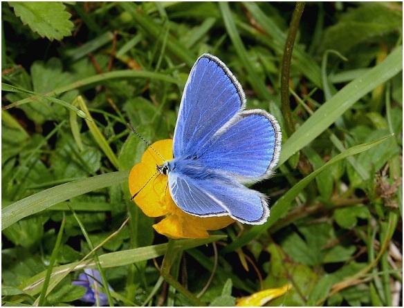 azul comun