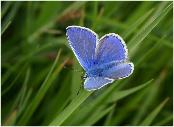 azul comun volando
