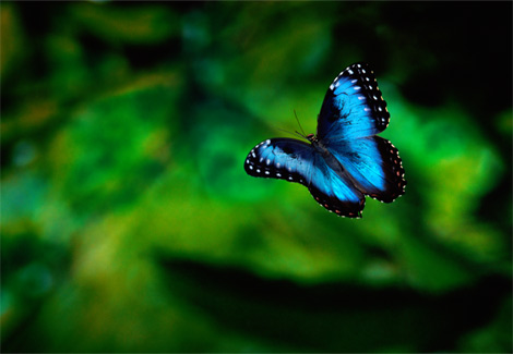 morpho azul volando
