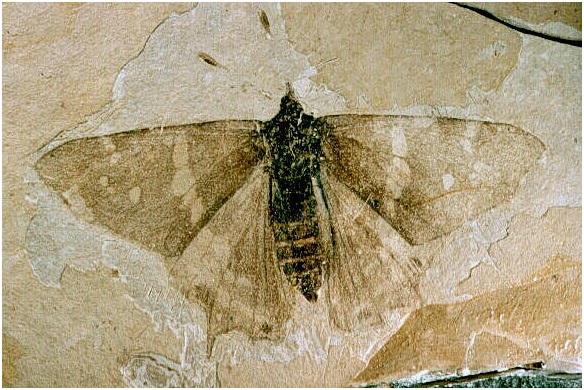 evolucion de las mariposas