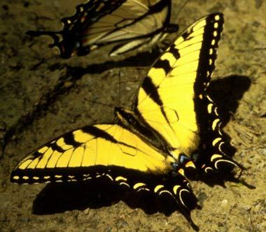 mariposa tigre en el suelo