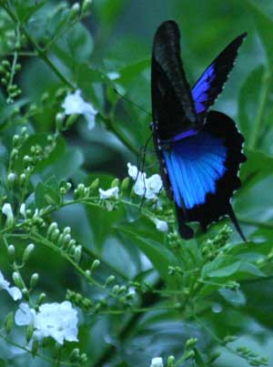 mariposa ulises